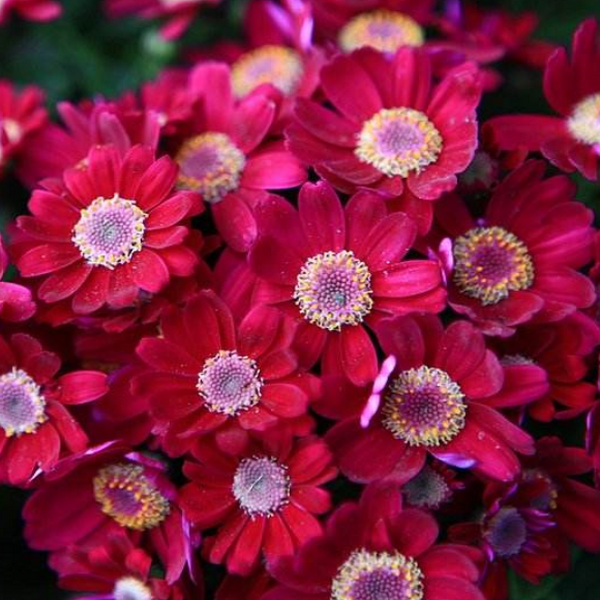 100 pcs/pack Mix color Cineraria Seeds