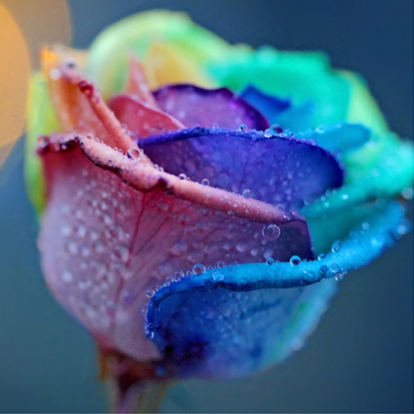 150 Rainbow Rose Seeds