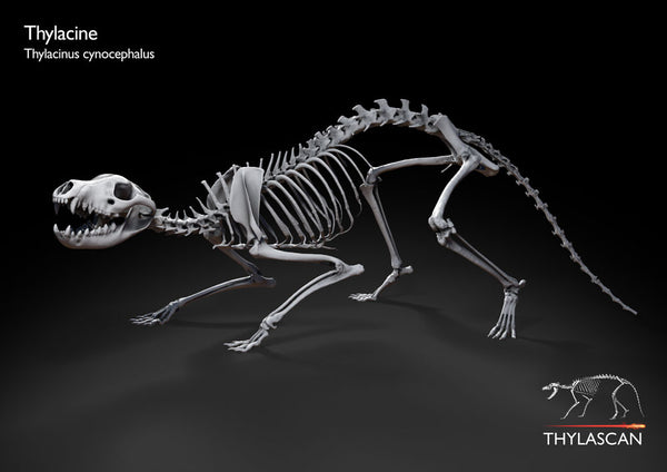 Thylacine 1 (Crouch Pose)