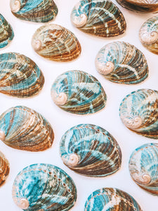 Abalone Shell ~ Small