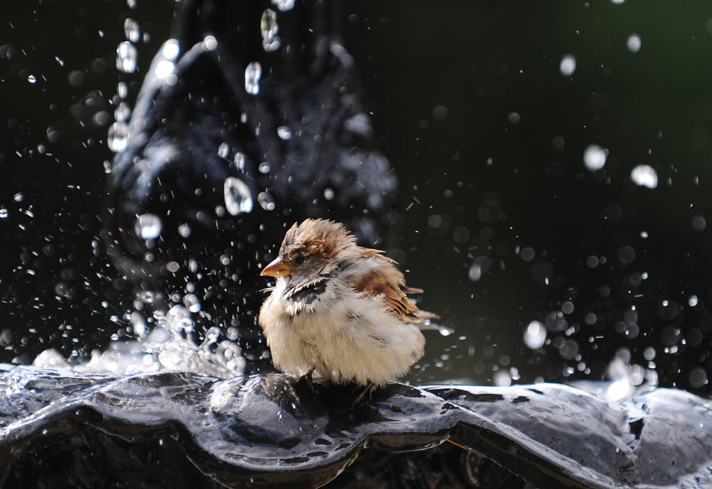 Bird in Bird Bath