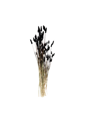 Dried Flower - Lagurus Black