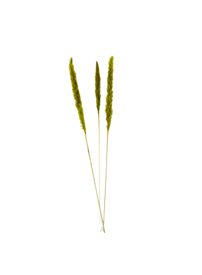 Dried Flower Green Miscanthus Floridulus