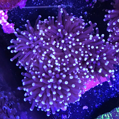 Torch Coral Cultured - White Tip