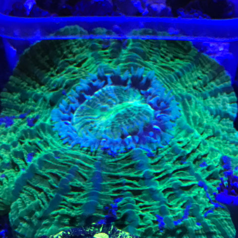 Ultra Neon Green Donut Coral