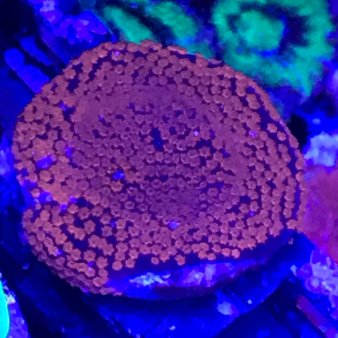 Superman Montipora Blue w/Red Polyps