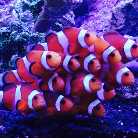Clownfish, Ocellaris