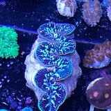 "Ultra Blue Maxima Clams 5""  -PREORDER-"