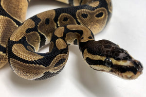Care and feeding of snakes and animals