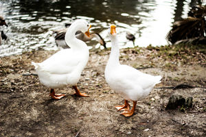 Which Is Superior When It Comes to Down - Duck or Goose?