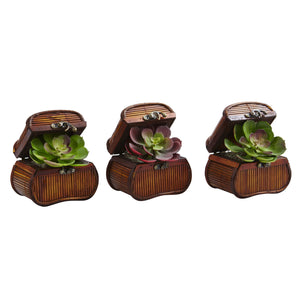 Echeveria in Chest (Set of 3)