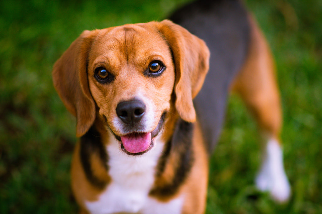 Photo of a happy beagle looking at photographer