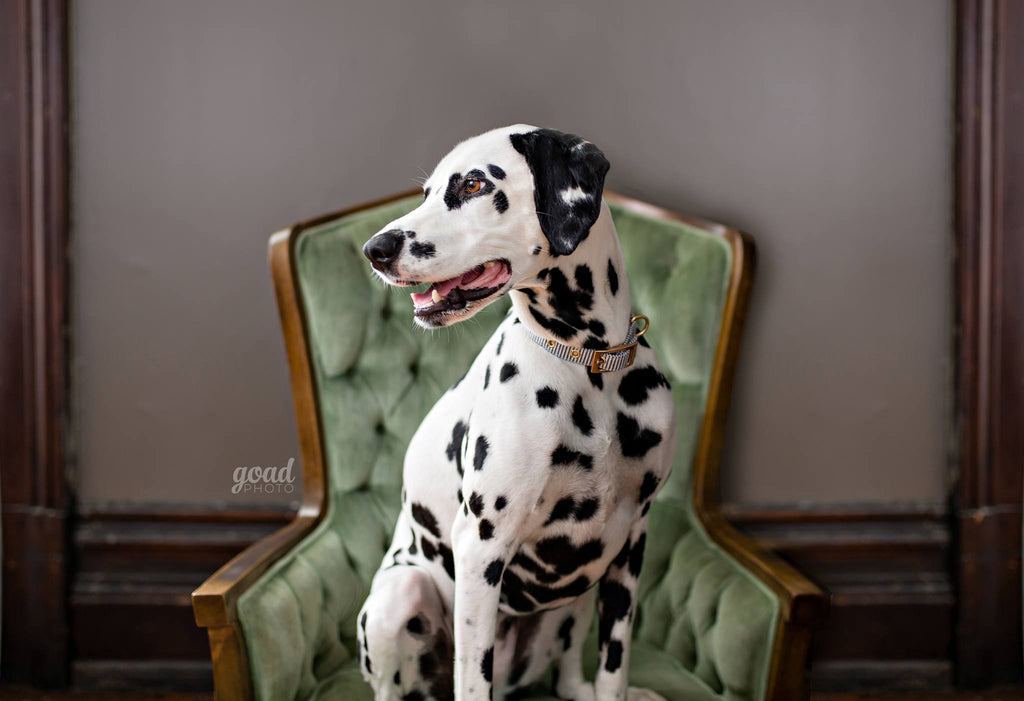 Photo of Dalmation sitting on a green vintage chair