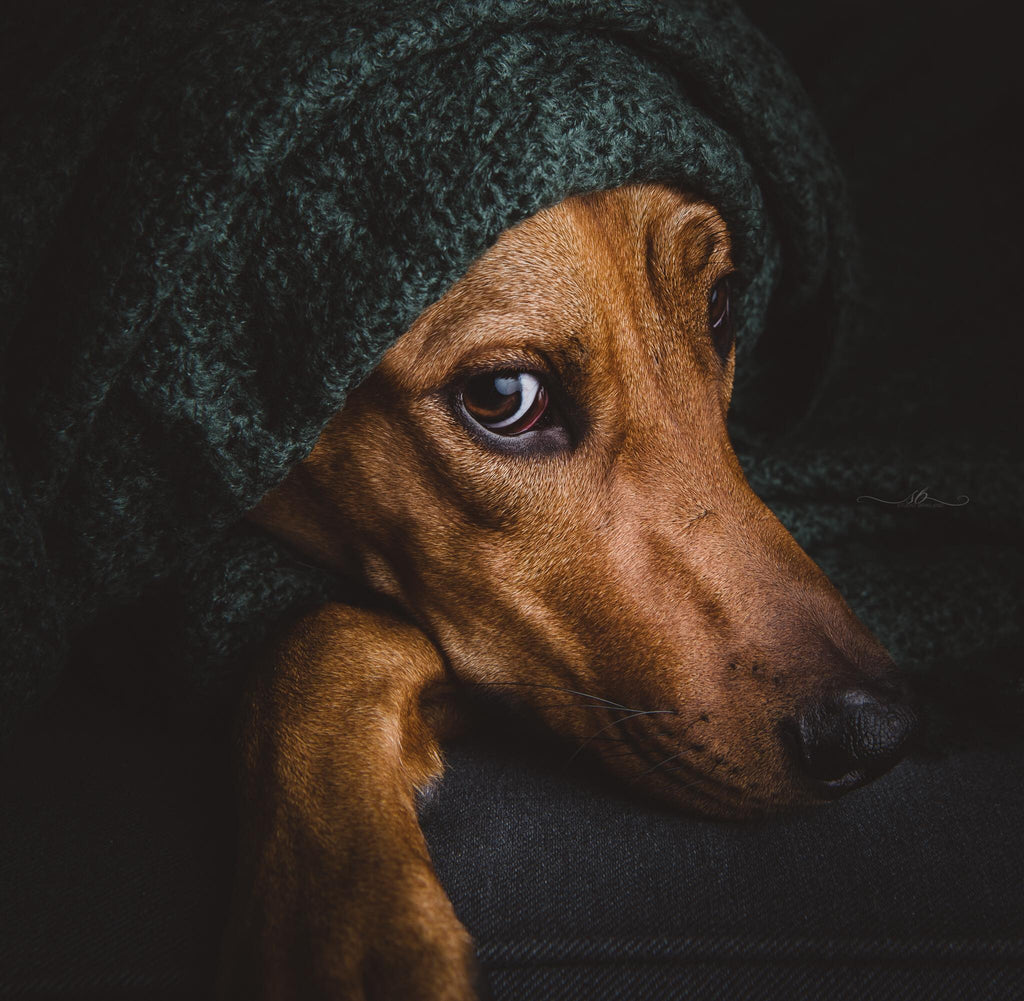 Photo of dachshund peeking out from under a blanket