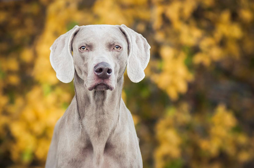 Photo of weimaraner posing for camera in front of yellow flowers
