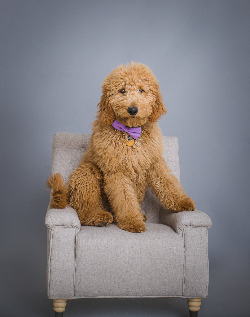 Photo of Labradoodle with bowtie sitting on a chair