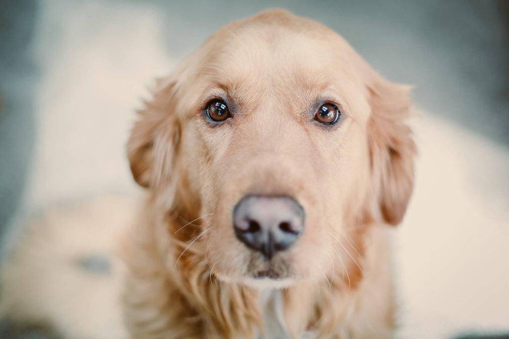 Photo of sweet golden retriever looking right into camera