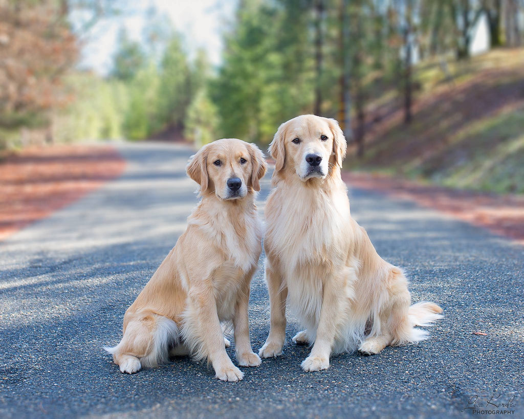 Photo of two golden retrievers posing for photographer