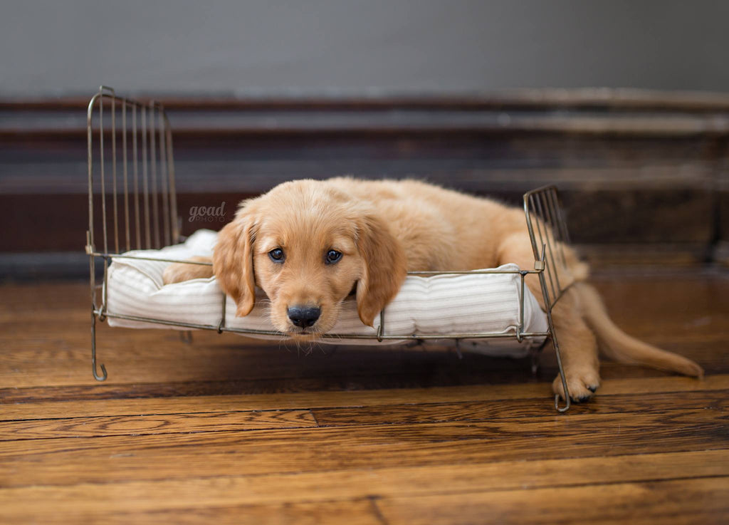 Photo of Golden Retriever puppy laying on a doll bed