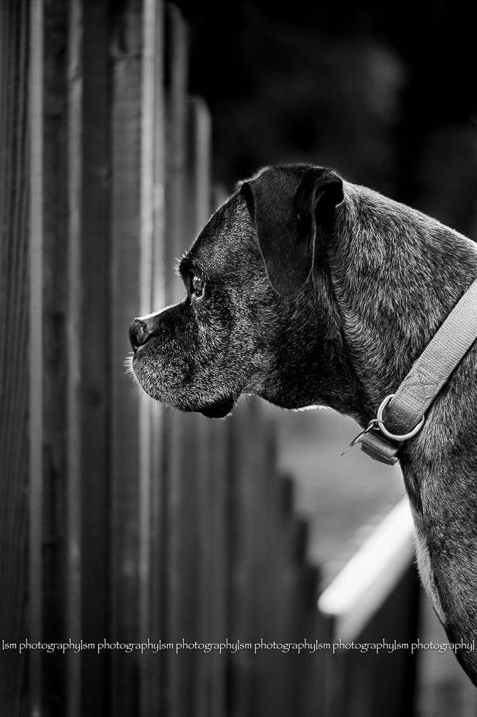 Black and white photo of Boxer Dog looking through fence