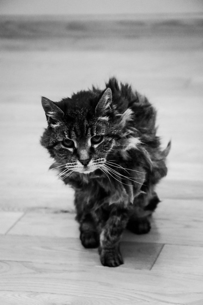 Sweet old cat walking