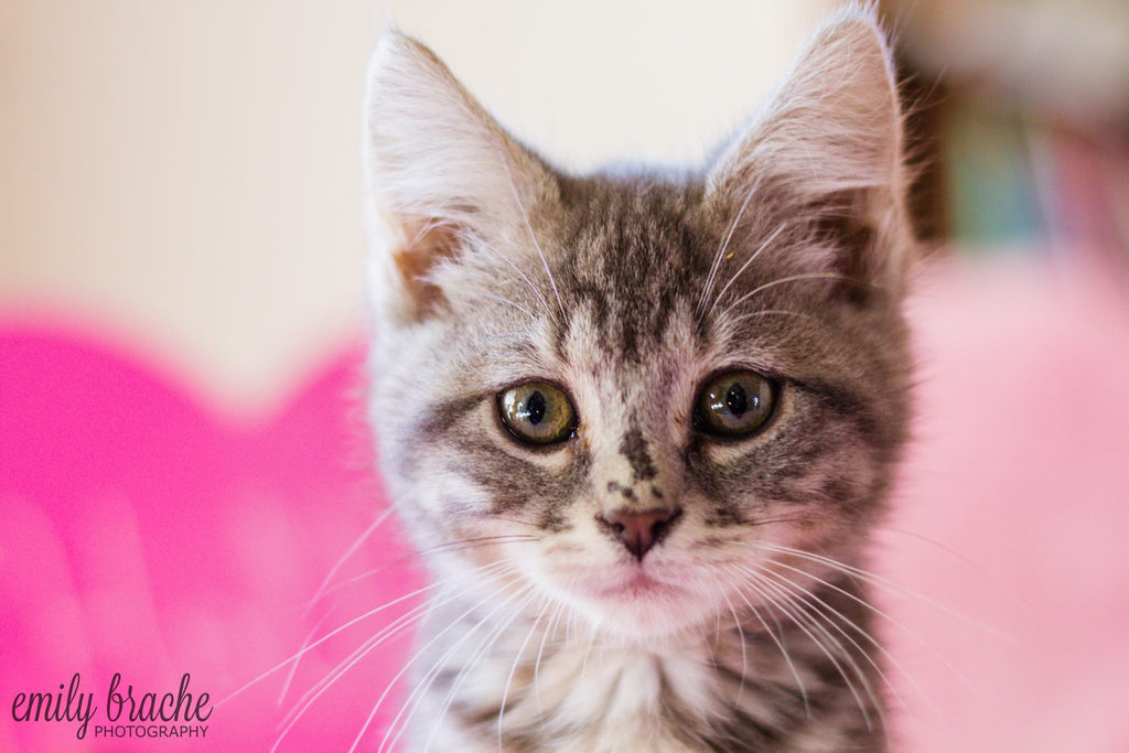 Cute kitten looking ahead with pink background