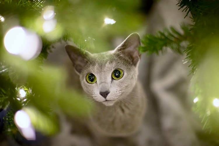 Picture of Cat Framed by Christmas Tree Branches
