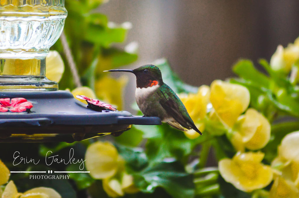 Spring hummingbird drinking from hummingbird feeder