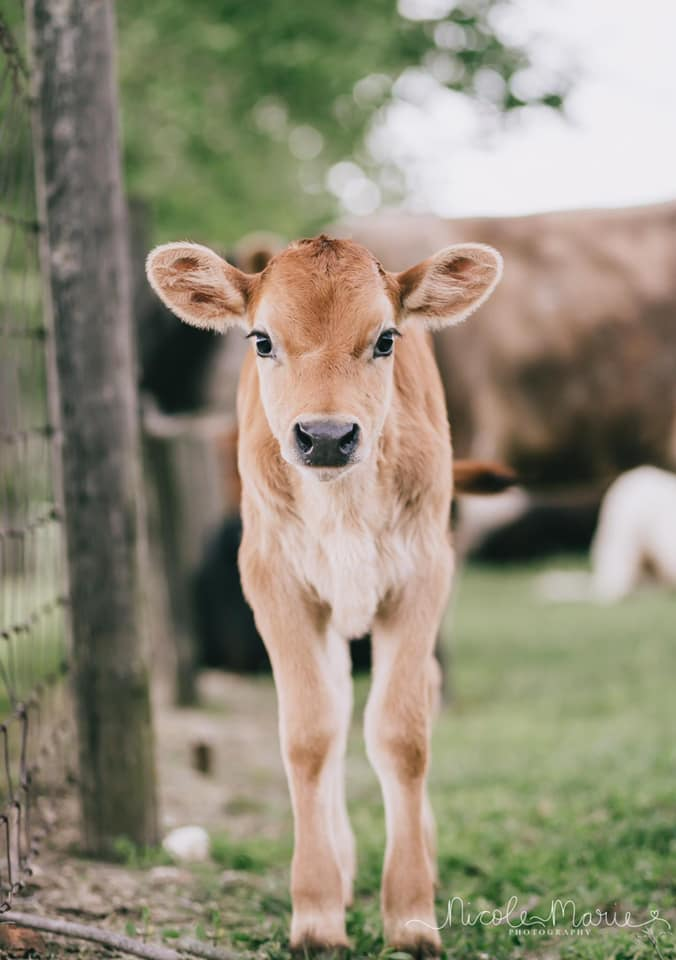 Calf in the Spring