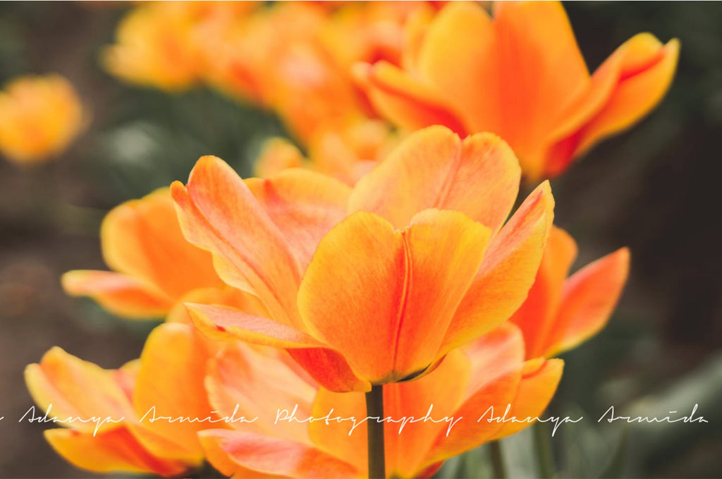Orange spring flower image