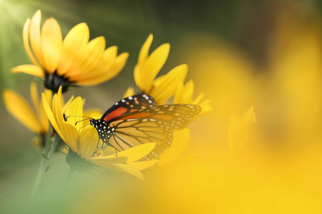 Orange Butterfly in yellow spring flowers