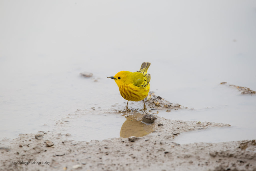 Spring photo of bright yellow bird