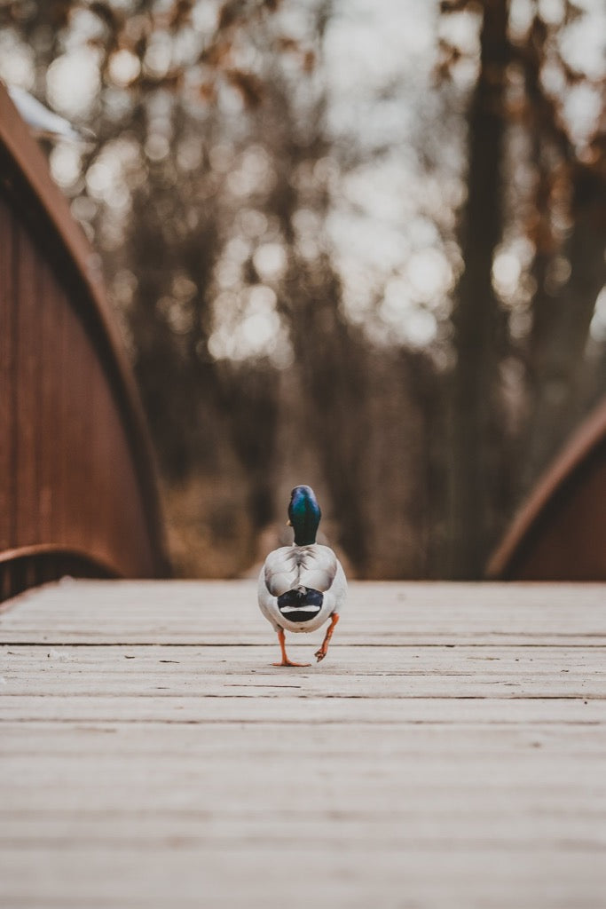 Best 2019 photos - Duck walking across bridge
