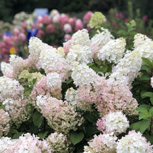 Load image into Gallery viewer, Hydrangea (Panicle) Bobo - 3 Gal.