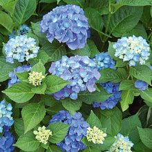 Load image into Gallery viewer, Hydrangea (Bigleaf) Endless Summer - 3 Gal.