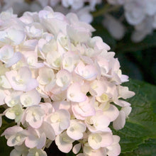 Load image into Gallery viewer, Hydrangea (Bigleaf) Blushing Bride - 3 Gal.