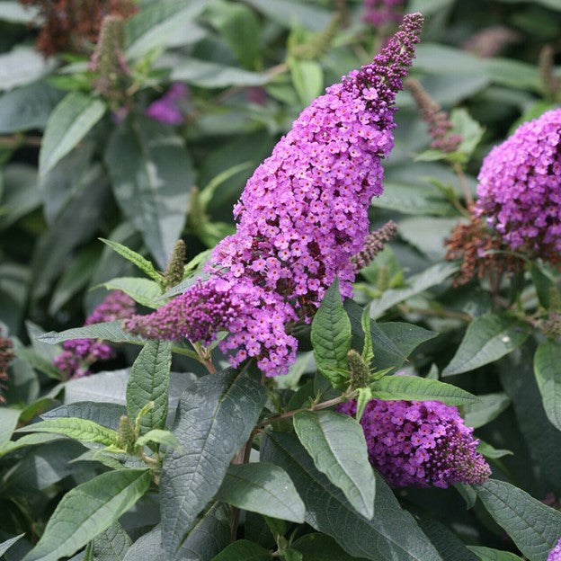 Butterfly Bush Pugster Periwinkle - 3 Gal.