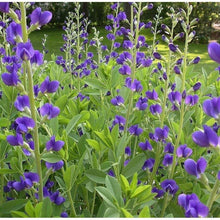 Load image into Gallery viewer, Blue False Indigo - 1 Gal.