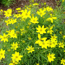 Load image into Gallery viewer, Coreopsis Zagreb - 1 Gal.