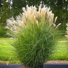 Load image into Gallery viewer, Grass Maiden - 3 Gal.