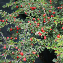 Load image into Gallery viewer, Cotoneaster Apiculatus - 3 Gal.