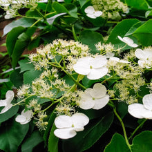 Load image into Gallery viewer, Hydrangea Climbing - #3