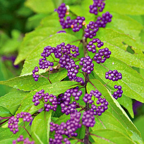 Beautyberry Early Amethyst - 3 Gal.