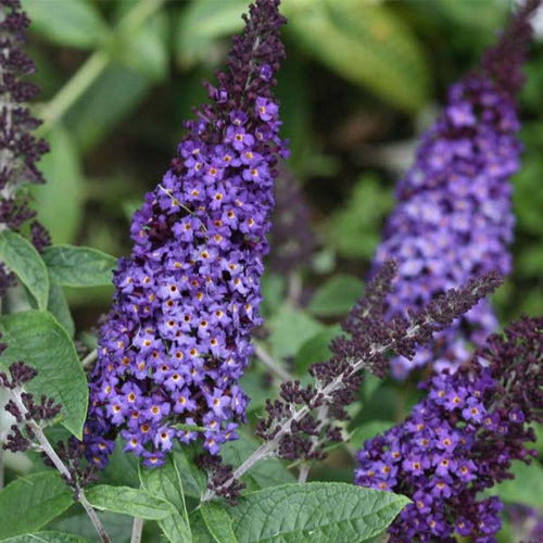 Butterfly Bush Pugster Blue - 3 Gal.