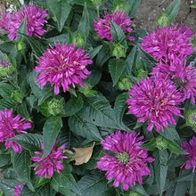 Load image into Gallery viewer, Bee Balm Pardon My Purple - 1 Gal.
