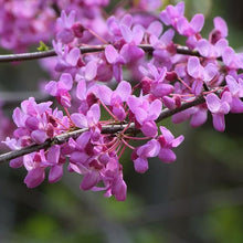Load image into Gallery viewer, Redbud Eastern (Single Stem) - 7 Gal.