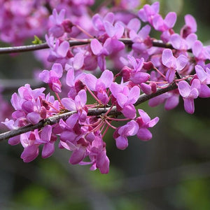 Redbud Eastern (Single Stem) - 7 Gal.