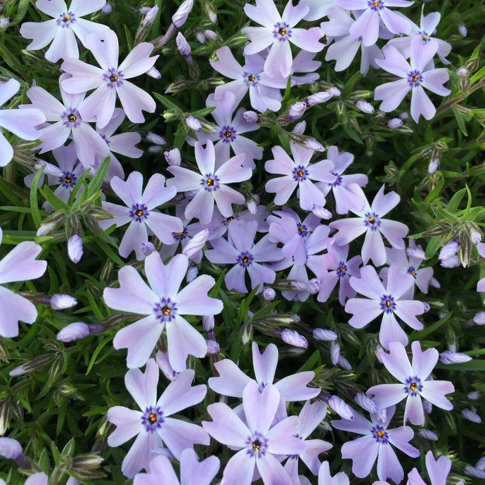 Phlox Creeping Emerald Blue - 1 Gal.