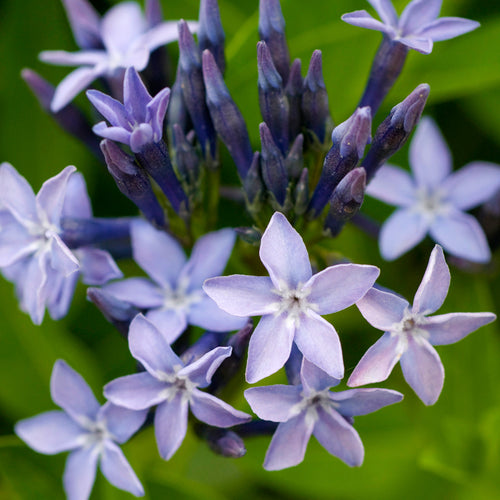 Amsonia Blue Ice - 1 Gal.