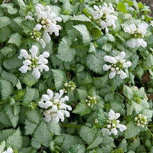 Load image into Gallery viewer, Lamium White Nancy - Quart